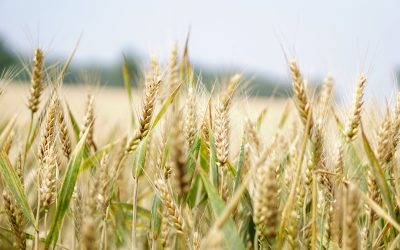 A History Of Wheat